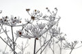 Hoarfrost on a plant in winter time Royalty Free Stock Images