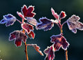Hoarfrost on red leaves sprigs with the last decorated with crystals sparkling in the sunlight Stock Photography