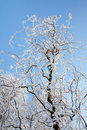 Hoarfrost tree Royalty Free Stock Photo