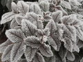 Hoarfrost on tree leaf Royalty Free Stock Photo
