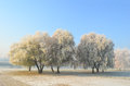 Hoarfrost on willow trees small hirst of chinese near river covered by morning Royalty Free Stock Photo