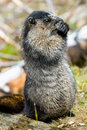 Hoary Marmot Stock Photography