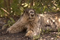 Hoary marmot. Royalty Free Stock Photo