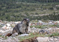 Hoary marmot on high alpine rock field looking at you with blurred background Stock Photography