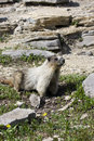 Hoary Marmot on rocky ledge Stock Image