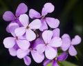 Hoary Stock, Matthiola incana, flowers, close-up, selective focus, shallow DOF