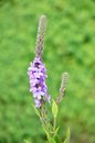 Hoary Vervain (Verbena stricta) Wildflower Royalty Free Stock Photo