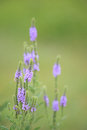 Hoary Vervain Wildflower - Verbena stricta Royalty Free Stock Photo