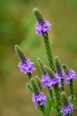 Hoary Vervain Wildflower Royalty Free Stock Photo