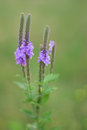 Hoary vervain wildflower vertical photo of kansas Stock Image