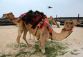 Hobbled camel in Doha, Qatar Royalty Free Stock Photos