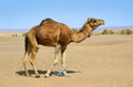 Hobbled camel on a pasture in sahara desert in morocco Stock Images