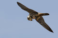 Hobby a eating a dragonfly on the wing Stock Photos