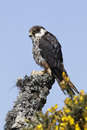 Hobby falco subbuteo single captive bird on branch midlands april Royalty Free Stock Photos