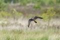Hobby a hunting over the heathland Stock Photos