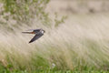 Hobby a hunting over the heathland Royalty Free Stock Photo