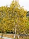 Hodge close autumn colours on silver birch trees at coniston cumbria uk Stock Photo
