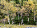 Hodge close autumn colours on silver birch trees at coniston cumbria uk Stock Images