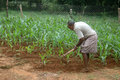 Hoeing in the corn plot tirunelveli tamil nadu india february indian man hoes out weeds crop on february near tirunelveli tamil Royalty Free Stock Photography