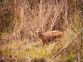 Hog deer axis porcinus in bardia national park nepal Royalty Free Stock Photo
