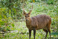 Hog deer endengered mammal india Royalty Free Stock Images
