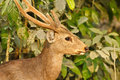 Hog deer endengered mammal india Stock Image