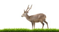 Hog deer with fresh green grass isolated on white background Royalty Free Stock Photo