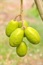 Hog plum pondias pinnata l f kurz anarcardiaceae Stock Photo