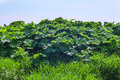 Hog weed dangerous in early summer Stock Photo