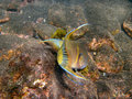 Hogfish mexicain Photographie stock