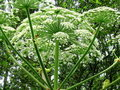 Hogweed Royalty Free Stock Photo