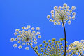 Hogweed Stock Photos
