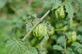 Hogweed, Ground Cherry Royalty Free Stock Photo
