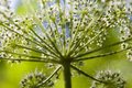 Hogweed Heracleum sphondylium L. Stock Photo