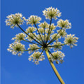 Hogweed and sky Royalty Free Stock Photo