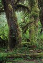 Hoh rainforest olympic national park washington usa Royalty Free Stock Photography