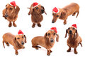 Hohoho dog poses six isolated dachshunds on white background Stock Images