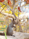Hokkaido Squirrel on a fallen tree Royalty Free Stock Images