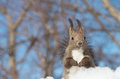 Hokkaido squirrel on snow field Royalty Free Stock Images