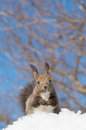Hokkaido squirrel on snow field Royalty Free Stock Photo