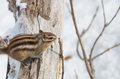 Hokkaido squirrel tree branch winter Stock Images