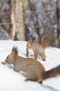 Hokkaido squirrels on snow field Stock Photography