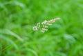 Holcus lanatus green meadow wild common pasture grass weed macro Royalty Free Stock Photo
