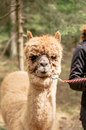 Holding alpaca by rein a brown fluffy Stock Photos