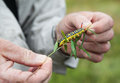 Holding big caterpillar man yellow on a plant stem with selective focus Stock Photos