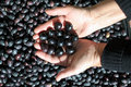 Holding black olives Royalty Free Stock Photos