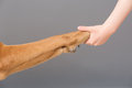 Holding dog s paw human hand Stock Photos