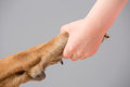 Holding dog s paw human hand Royalty Free Stock Photography