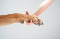 Holding dog s paw human hand Royalty Free Stock Photo