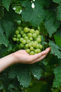 Holding fresh green grapes Stock Images